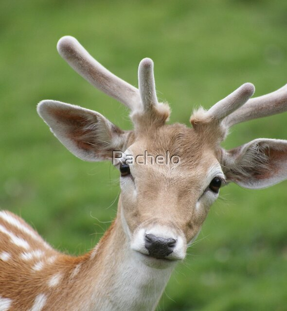 Don't stare deer! by Rachelo