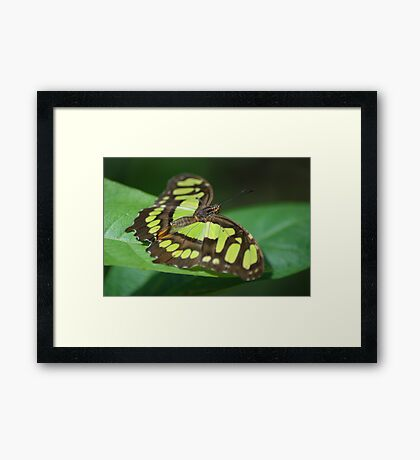Malachite Butterfly (Siproeta stelenes) - Costa Rica Framed Print