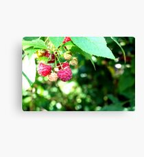 Rasberry Canvas Print