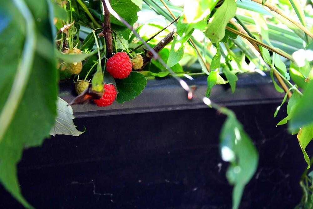 Rasberry by Cassie Jahn