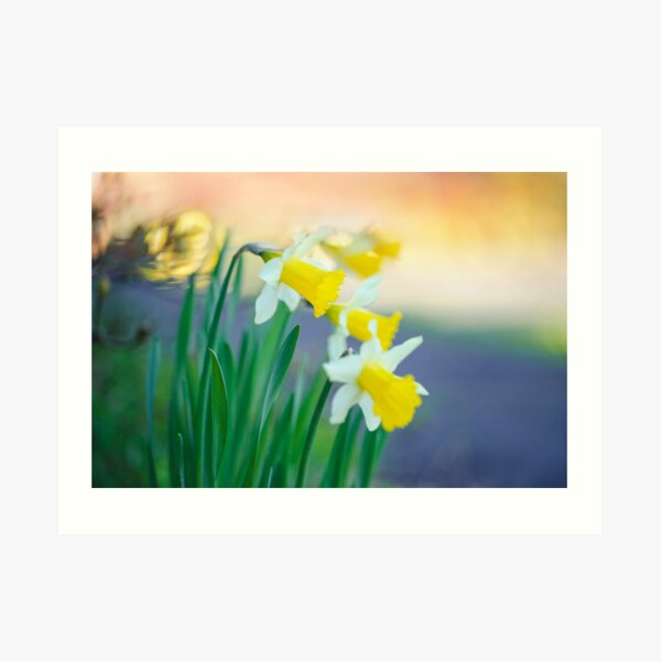Daffodil Day... Art Print