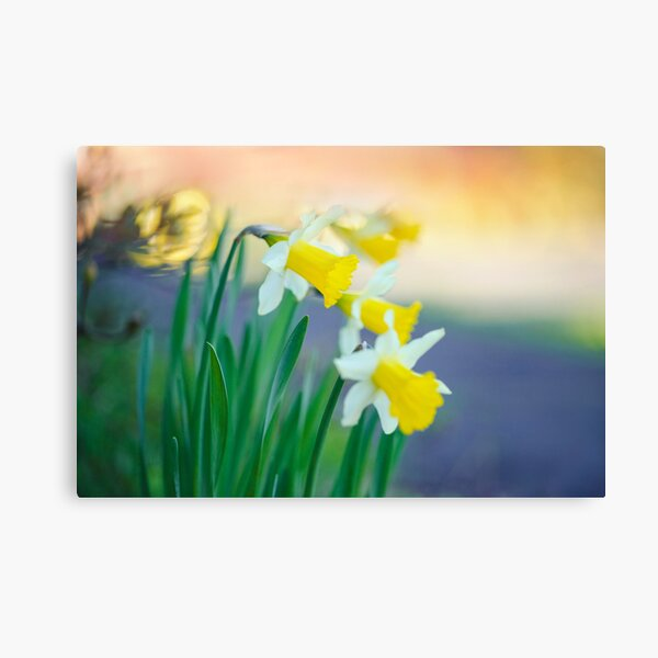 Daffodil Day... Canvas Print