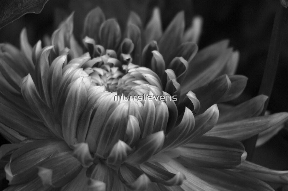 Flower by murrstevens