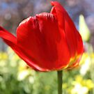 Tulip by ACBPhotos