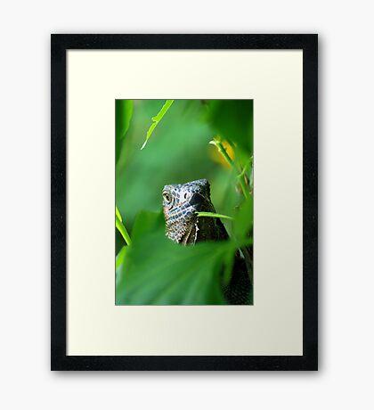 Old Green Iguana - Costa Rica Framed Print