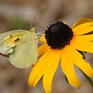 Yellow butterfly on a black-eyed Susan by agenttomcat