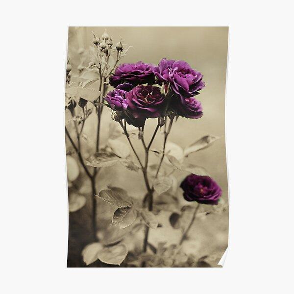 Ebb Tide Rose by Darren Harwood Poster