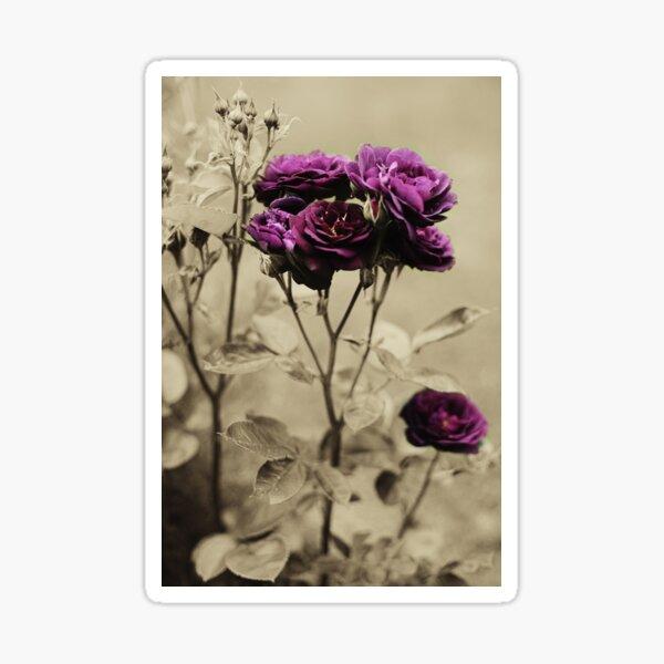 Ebb Tide Rose by Darren Harwood Sticker