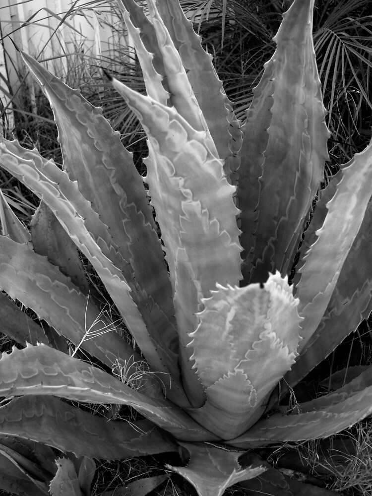Agave in Black and White from A Gardener's Notebook by Douglas E.  Welch