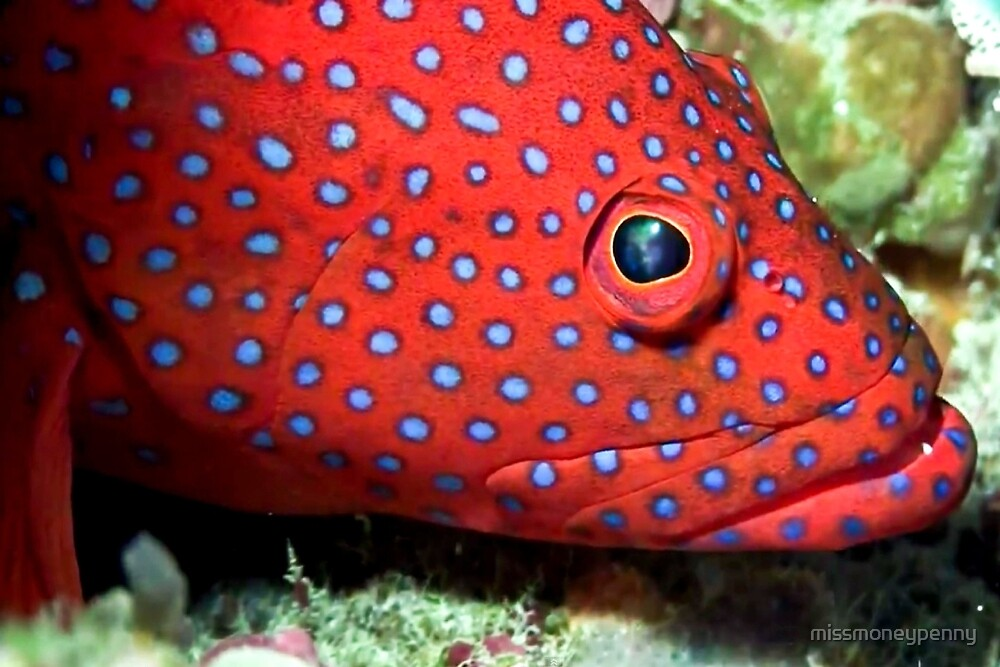 Blue spotted tamarin wrasse by missmoneypenny