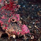 Spiny devil fish - Lembeh Straits by Stephen Colquitt