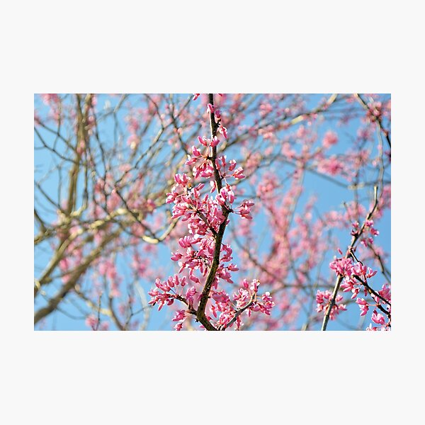 Blooming Spring Buds Photographic Print