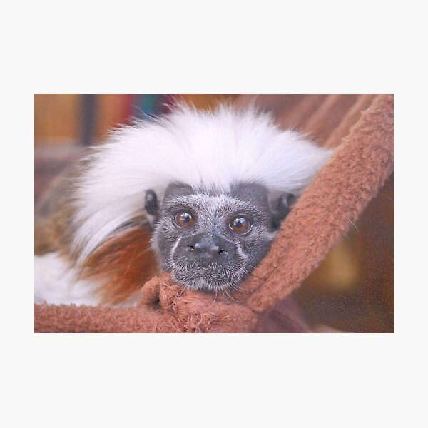 Cotton-Top Tamarin Monkey Photographic Print
