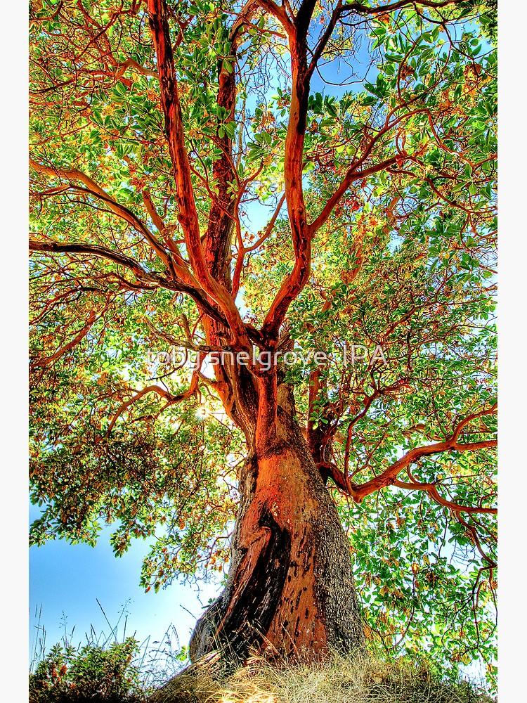 Shimmering Arbutus by tobysnelgrove