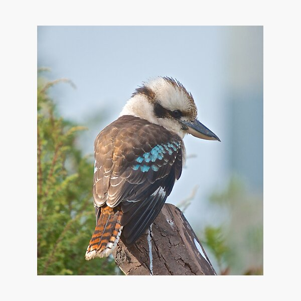 KINGFISHER ~ Kookaburra ENiNeozD by David Irwin Photographic Print