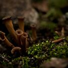 Craterellus Cornucopiodes or Black trumpets  by KFuoco