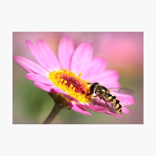 Hoverfly – Sweefvlieg Photographic Print