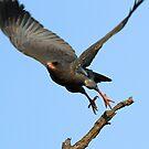 Dark chanting goshawk in flight by Anthony Goldman