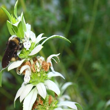 Bumblebee on Spotted Horsemint by rbb2676