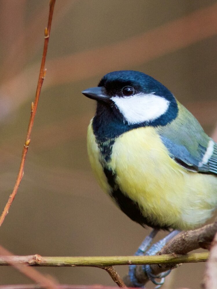 Great Tit (Parus Major) Perched in Woodland by robcole