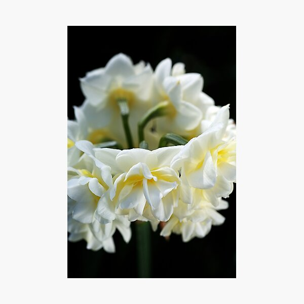 Jonquil Ring Dance Photographic Print
