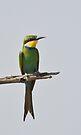 Swallow Tailed Bee Eater (Merops hirundineus) by Neville Jones
