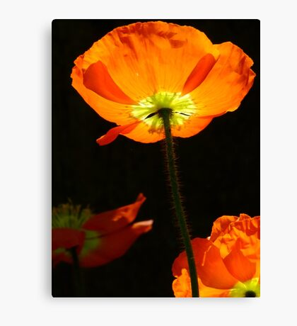 Poppy so Bright! Canvas Print