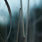 Tall Grass at Dusk by utilityimage