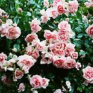 Pink Roses by KaiWilliams