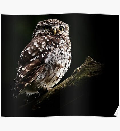 Little Owl / None Captive Poster