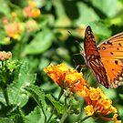 Butterfly ~ Gulf Fritillary by Kimberly Chadwick