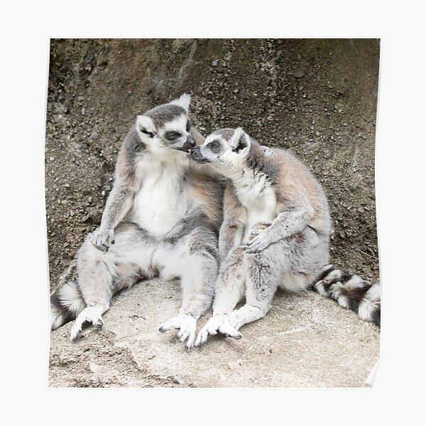 Lemur nose-licks Poster