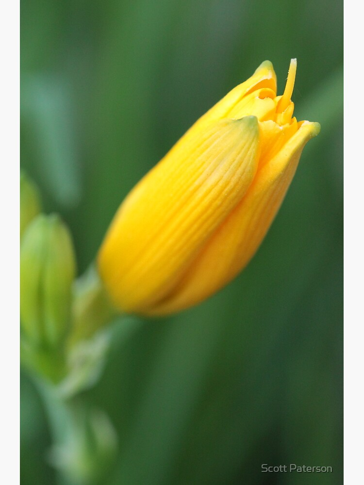 Yellow Lily Bloom by spaterson