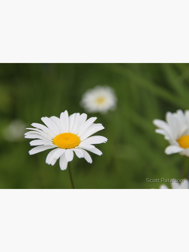Daisies by spaterson