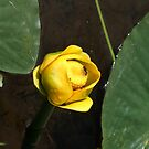 Water Lily by bberwyn