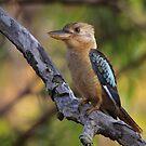 Kookaburra Sittin' In An Old Gum Tree by naturalnomad