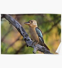 Kookaburra Sittin' In An Old Gum Tree Poster