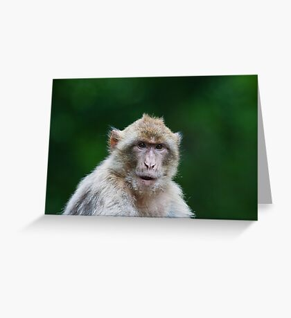 Barbary macaques  Greeting Card