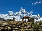 A Burro in the Andes by Sun Dog Montana