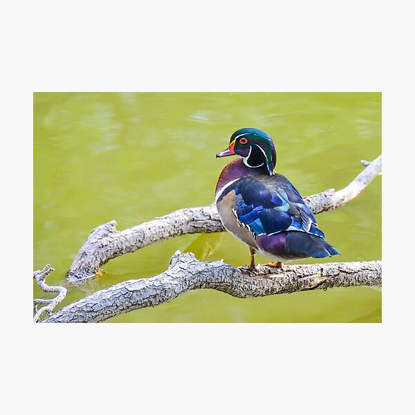 Wood Duck  Photographic Print