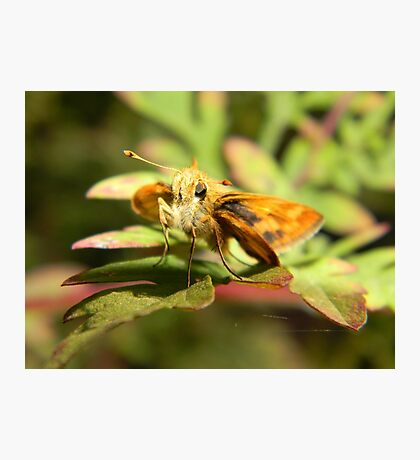 Grass skipper at rest. Photographic Print