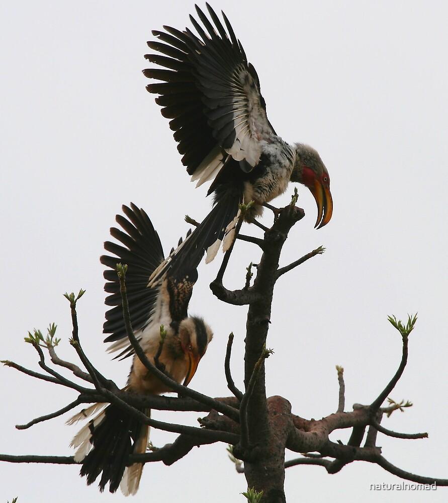 Hornbill Courtship by naturalnomad
