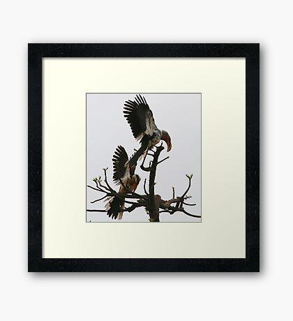 Hornbill Courtship Framed Print
