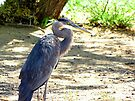 Great Blue Heron by Kimberly Chadwick