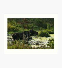 Cow Moose In Bog Art Print