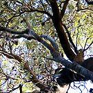 Banksia by marijkasworld