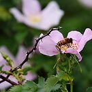 Bees, Thorns and Wild Roses by Alyce Taylor
