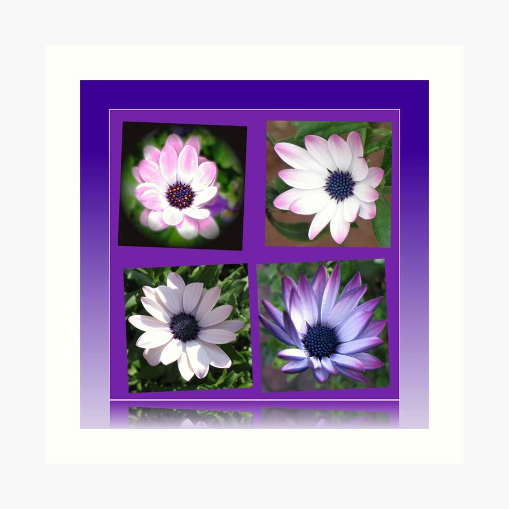 Beautiful Dreamers -  Cape Daisy Collage Kunstdruck