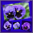 Got the Blues - Purple Pansies Collage von BlueMoonRose