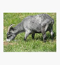 Hungry Little Goat Photographic Print